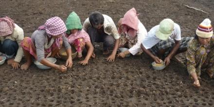 Bunong peoples of Pu Ngor village were growing rice. Photo by Sarou in 2010.
